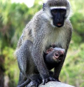 Monkey_&_Baby