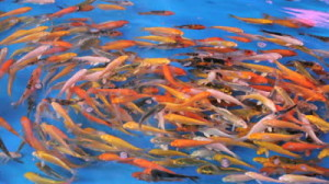 stock-footage-a-school-of-tropical-fish-swim-around-and-around-in-circles-in-a-large-tank