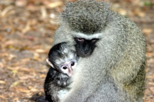 Vervet_monkey_and_baby