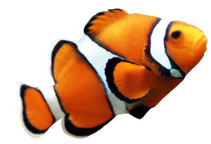 clownfish-clip-art-orange-clown-fish