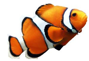 clownfish-clip-art-orange-clown-fish
