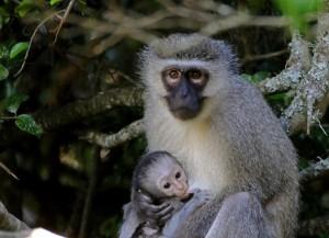 vervet-monkey-chlorocebus-aethiops