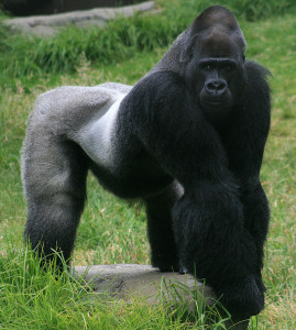 800px-Male_gorilla_in_SF_zoo