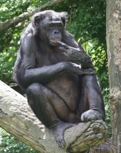 800px-Bonobo_0155