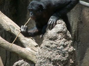 A_Bonobo_at_the_San_Diego_Zoo_-fishing-_for_termites