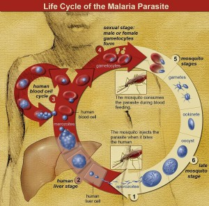 Life_Cycle_of_the_Malaria_Parasite
