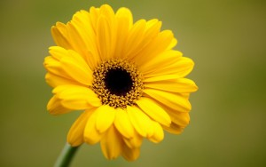 6941979-gerbera-yellow-flower