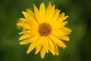 yellow-flower (2)